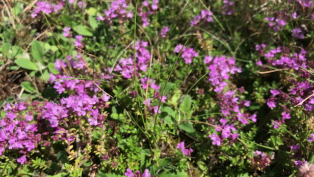 Thyme blooms in a forest glade. Flowers are scattered throughout the country. video
