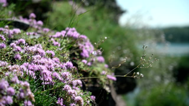 Thyme growing on a mountain slope. video