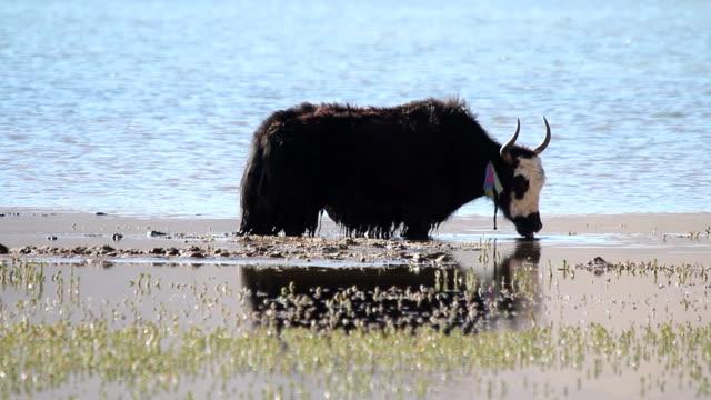 tibetan yaks (Bos grunniens) drinking water
