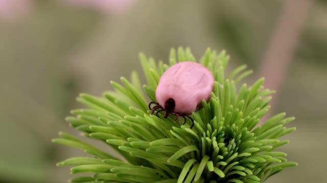 vídeos de stock e filmes b-roll de tick (ixodes ricinus) danger insect - lapa