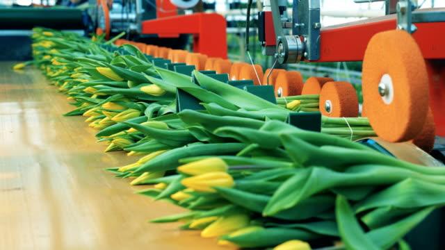 bundet upp blommande tulpaner blir omplacerade av transportören - biltransporttrailer bildbanksvideor och videomaterial från bakom kulisserna