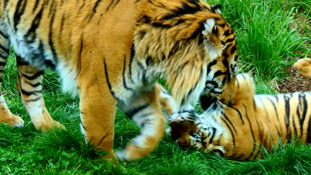 Tiger and his cub playing video