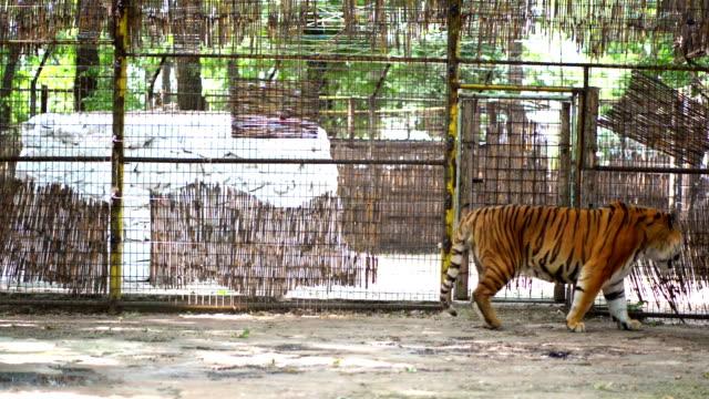 tiger im zoo - käfig stock-videos und b-roll-filmmaterial