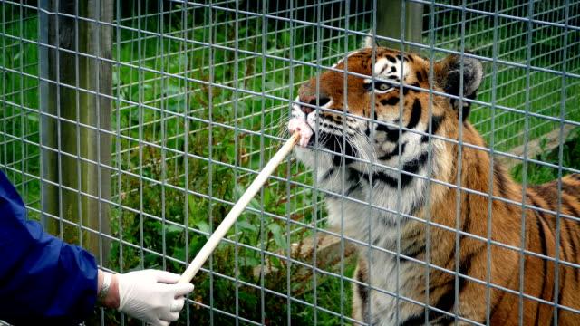 tiger är hand fed i kapsling - tiger bildbanksvideor och videomaterial från bakom kulisserna