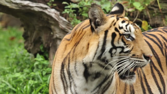 vídeos y material grabado en eventos de stock de tigre de bengala sala de estar en el bosque - tigre