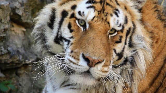 vídeos y material grabado en eventos de stock de tiger primer plano de alta definición - tigre