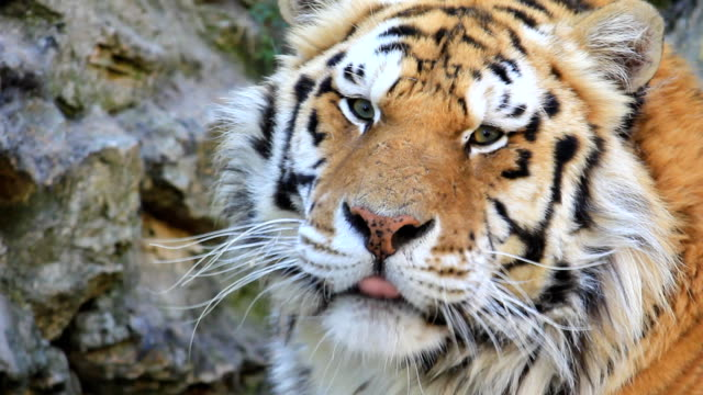 Tigre em Close-Up - vídeo