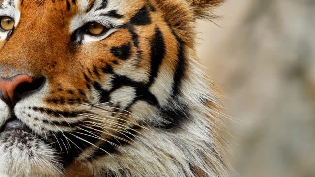 tiger close-up video
