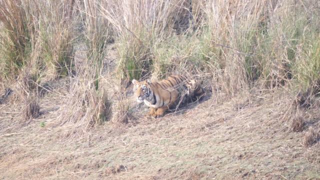 tiger cub crouching near a waterhole at tadoba- 4K 60p