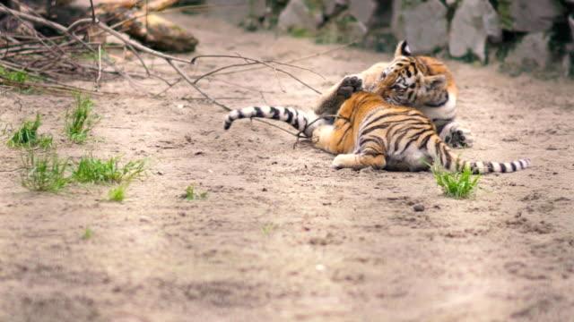 vídeos y material grabado en eventos de stock de cachorros de tigre jugando entre sí en parque zoológico - tigre