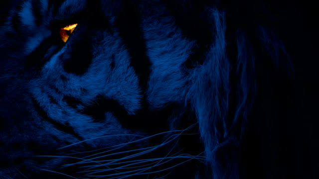 Tiger Face At Night With Glowing Eye video