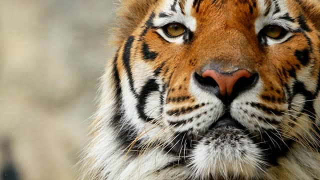 vidéos et rushes de tigre face proches - tête d'un animal