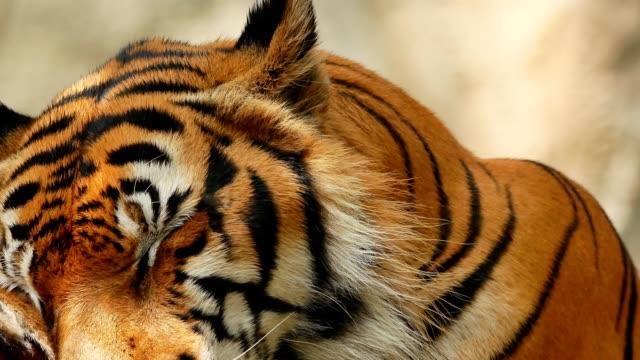 タイガーフェースクローズアップ ビデオ