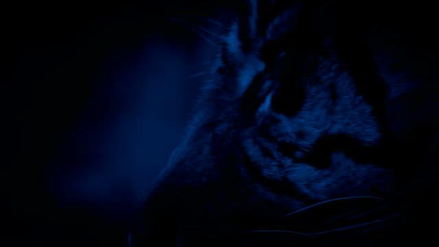vídeos y material grabado en eventos de stock de cara de tigre viene a la vista en la noche - tigre