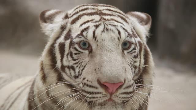 タイガーの顔 ビデオ