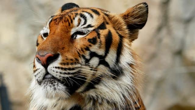 vidéos et rushes de gros plan à la tête de tigre - animaux à l'état sauvage