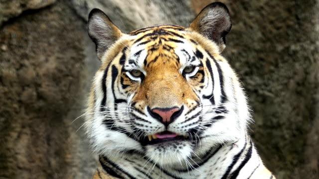 vidéos et rushes de tête de tigre - tête d'un animal