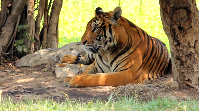 タイガーの自然 ビデオ