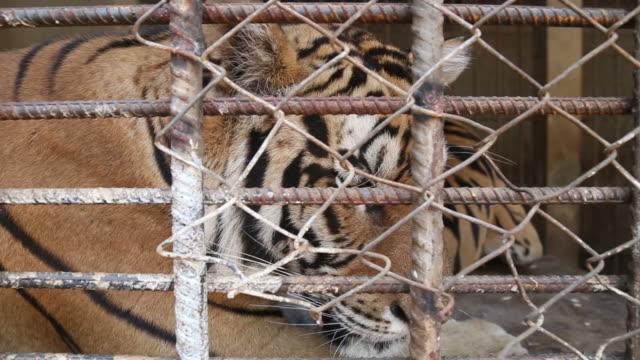 tiger im kleinen rahmen - käfig stock-videos und b-roll-filmmaterial
