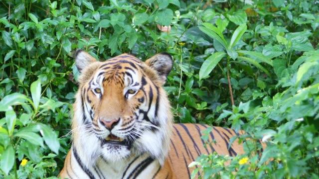 Tiger auf dem grünen Rasen – Video