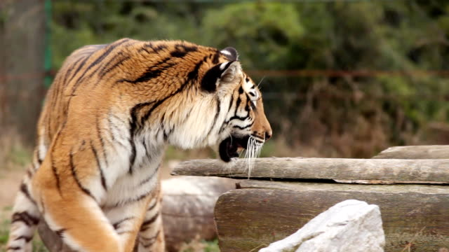 Tiger in zoo. video