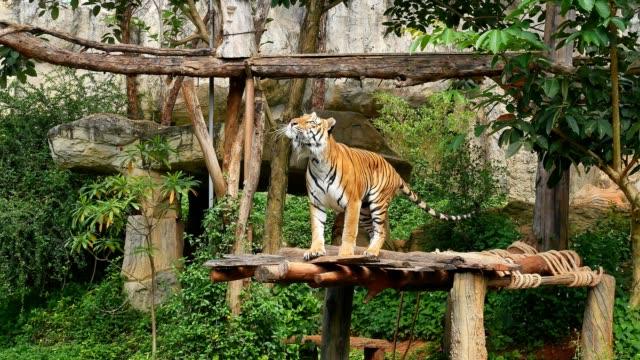 vídeos y material grabado en eventos de stock de salto del tigre - tigre