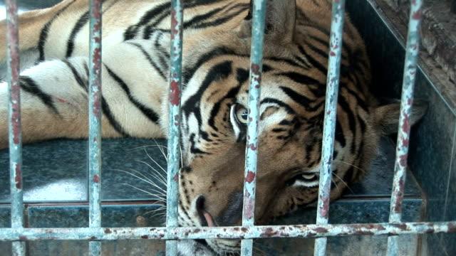 tiger laying down (hd 1080) - kafes sınırlı alan stok videoları ve detay görüntü çekimi