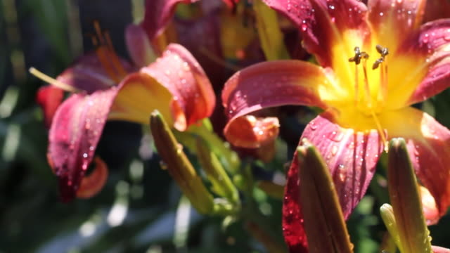 Tiger Lily Dolly After Rain Close Up