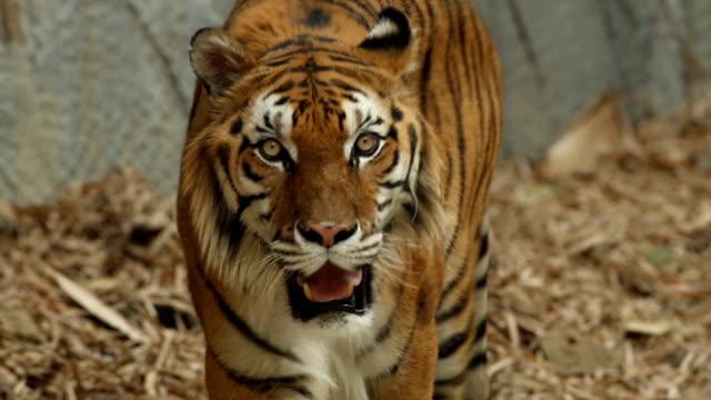 Tiger sehen Meerenge zu Kamera CU erschossen – Video
