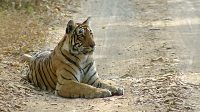 Tiger looking around while sitting on a forest road.