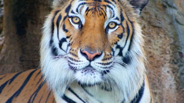 vidéos et rushes de tigre en regardant gros plan caméra - tête d'un animal