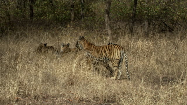 Tiger mother with cub