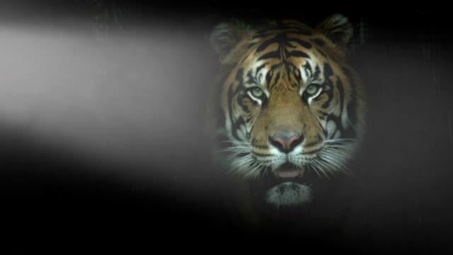 tiger posing in a dramatic setting - päls textil bildbanksvideor och videomaterial från bakom kulisserna