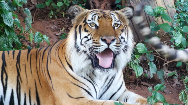 Tiger relaxing and looking