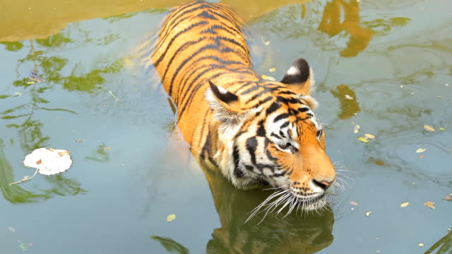 Tiger rest in water. video