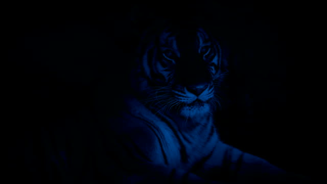 Tiger Resting In Cave At Night video