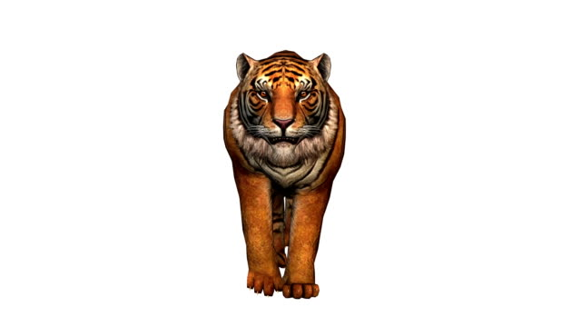 Tiger running, front view video
