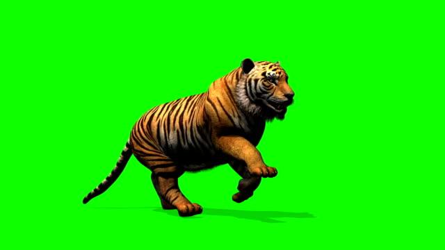tiger kör - grön skärm - leopard bildbanksvideor och videomaterial från bakom kulisserna