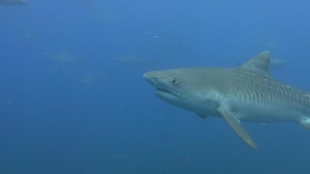Tiger Shark (Galeocerdo cuvier) video