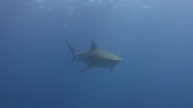 тигровая акула (galeocerdo cuvier) - одно животное стоковые видео и кадры b-roll