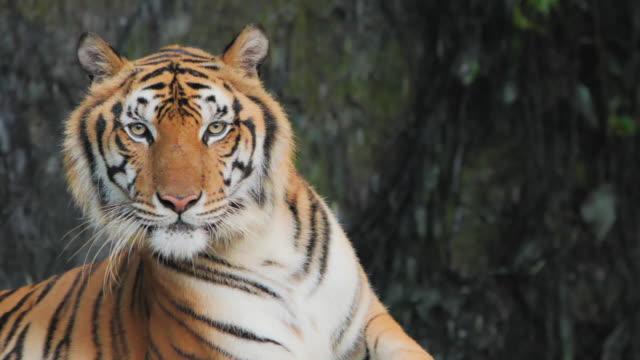 tiger; siberian eller benga tiger, slow motion. - tiger bildbanksvideor och videomaterial från bakom kulisserna