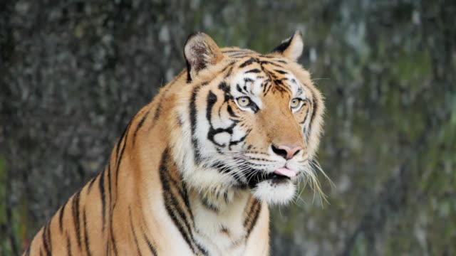 Tiger; Siberian or Benga tiger, Slow motion.