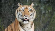 istock Tiger; Siberian or Benga tiger, Slow motion. 1218775891