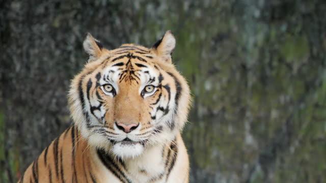 tiger; sibirischer oder benga-tiger, zeitlupe. - bedrohte tierart stock-videos und b-roll-filmmaterial