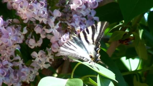 tiger swallowtail motyl - część ciała zwierzęcia filmów i materiałów b-roll