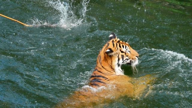 tiger Schwimmen – Video