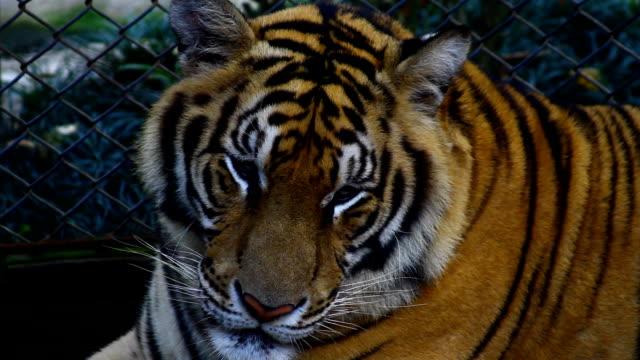 Tiger ,Thailand video