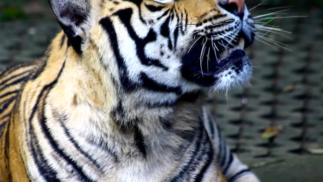 Tiger, Tailandia - vídeo