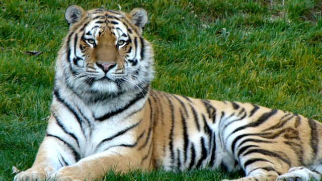 Tiger. Tigre video