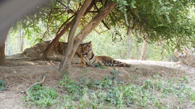Tiger Under Trees